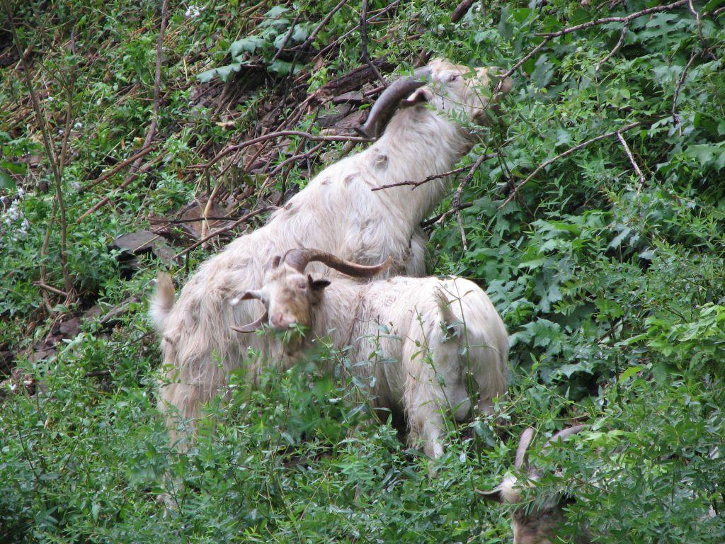 West Virginia Mountain Goats